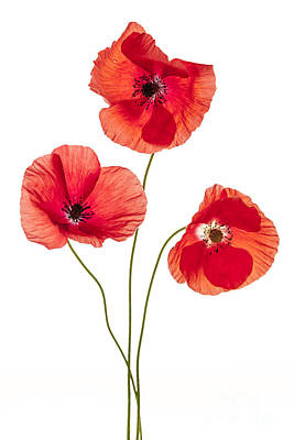 Flower Design Photograph - Three Poppy Flowers by Elena Elisseeva
