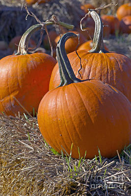 Photograph - Three Pumpkins by Sharon Talson
