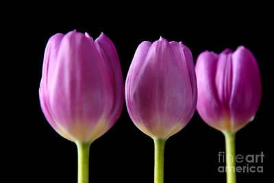Photograph - Three Purple Tulips Flowers by Eden Baed