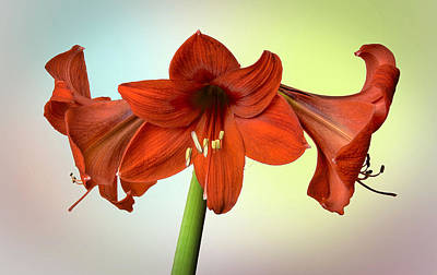 Photograph - Three Red Amaryllis by Bob Mulligan