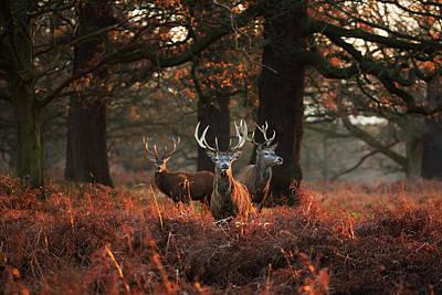 Autumn Photograph - Three Red Deer, Cervus Elaphus by Alex Saberi