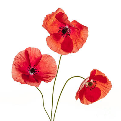 Floral Royalty-Free and Rights-Managed Images - Three red poppies by Elena Elisseeva