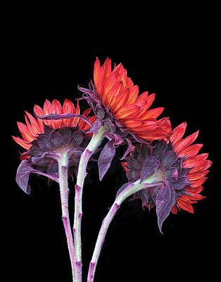 Photograph - Three Red Sunflowers I by David and Carol Kelly