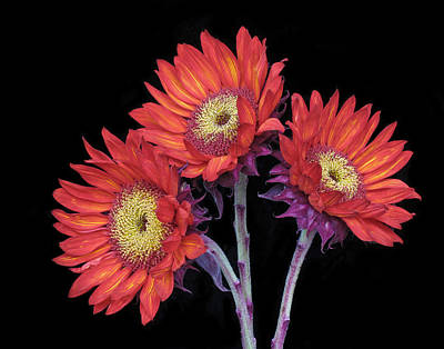 Photograph - Three Red Sunflowers II by David and Carol Kelly