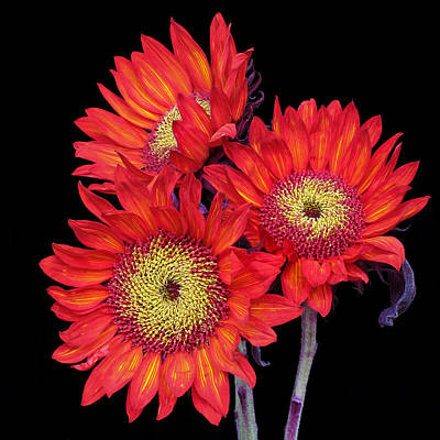 Photograph - Three Red Sunflowers IIi by David and Carol Kelly
