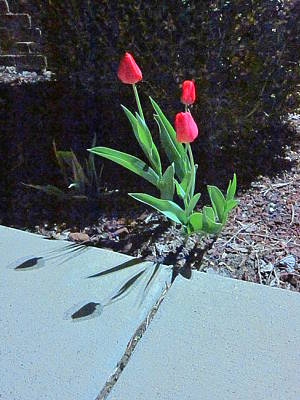 Photograph - Three Red Tulips by Guy Ricketts