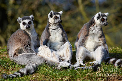 Photograph - Three Ring-tailed Lemurs On A Row  by Nick  Biemans