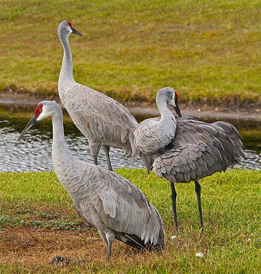 Photograph - Three Sandhill Cranes by Denise Mazzocco