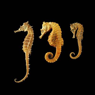 Three Seahorses Against Black Background Art Print by Science Photo Library