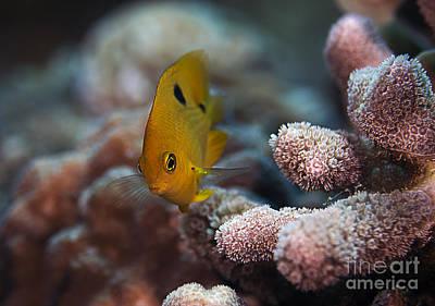 Photograph - Three Spot Damselfish by JT Lewis