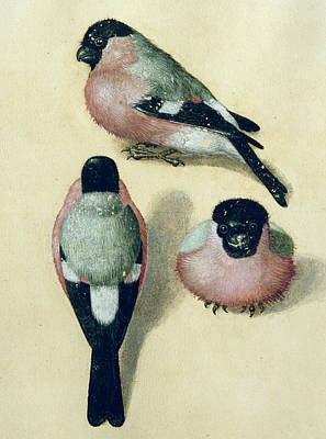 Study Painting - Three Studies Of A Bullfinch by Albrecht Durer