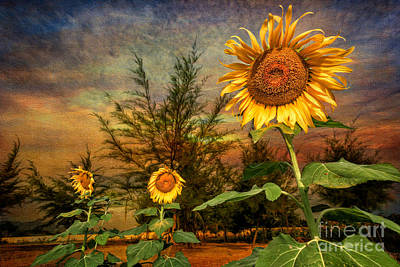 Three Sunflowers Art Print by Adrian Evans