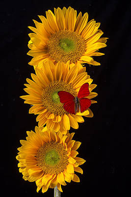 Photograph - Three Sunflowers With Red Butterfly by Garry Gay
