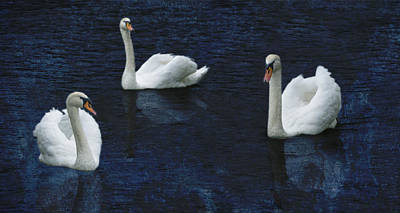 Photograph - Three Swans by Bob Coates