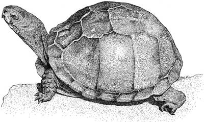Chelonian Photograph - Three Toed Box Turtle by Roger Hall