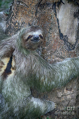 Three Toed Sloth Art Print by Anne Rodkin