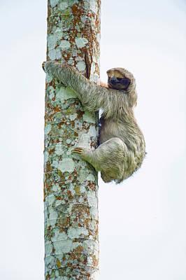 Three-toed Sloth Bradypus Tridactylus Print by Panoramic Images