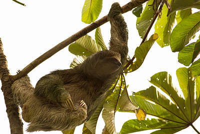 Sloth Photograph - Three Toed Sloth In Costa Rica 2 by Natural Focal Point Photography