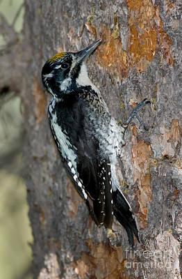 Three-toed Woodpecker Art Print by Anthony Mercieca