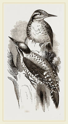 Woodpecker Drawing - Three-toed Woodpeckers by Litz Collection