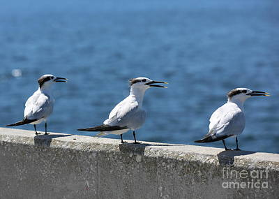 Popstar And Musician Paintings Royalty Free Images - Three Turning Terns Royalty-Free Image by Carol Groenen
