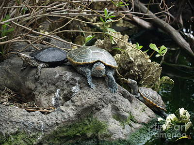 Photograph - Three Turtles by Robin Maria Pedrero