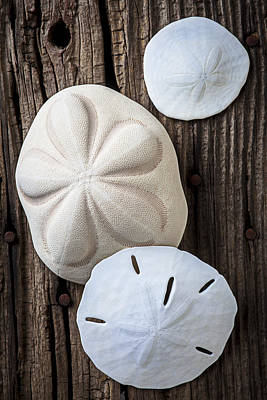 Tests Photograph - Three Types Of Sand Dollars by Garry Gay