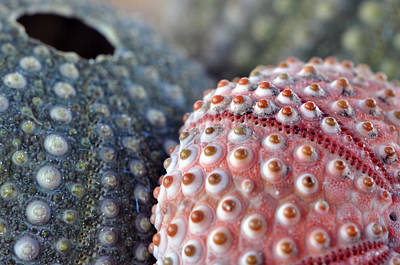 Beachglass Photograph - Three Urchins by Joanne R Daum