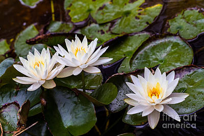 Photograph - Three Waterlilies. by Ken Frischkorn