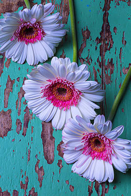 Gerbera Daisy Photograph - Three White And Pink Daises  by Garry Gay