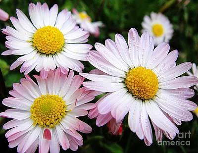 Macro Photograph - Three White And Pink Daisies by Karin Ravasio