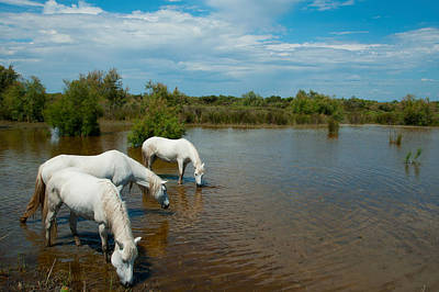 Three White Camargue Horses In A Lagoon Art Print by Panoramic Images