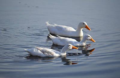 Photograph - Three White Ducks by rd Erickson