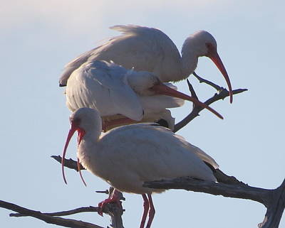 Photograph - Three White Ibis by Ellen Meakin