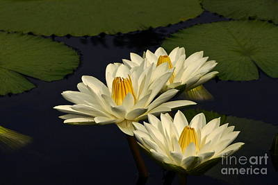 Photograph - Three White Tropical Water Lilies by Byron Varvarigos