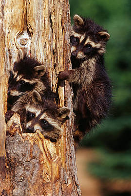 Three Of A Kind Photograph - Three Young Raccoons In Hollow Tree by Panoramic Images