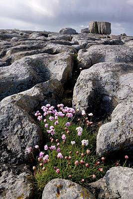 Burren Photograph - Thrift (armeria Maritima) On Limestone by Bob Gibbons