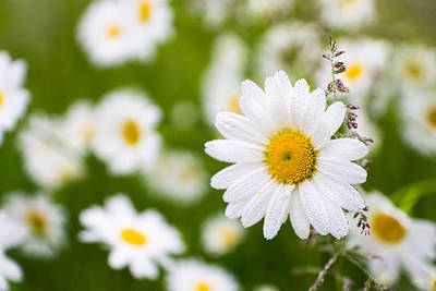 Photograph - Thriving Mist Daisy by Bill Pevlor