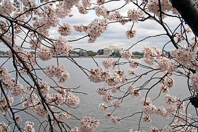 Photograph - Jefferson Through Cherry Blossoms by Cora Wandel