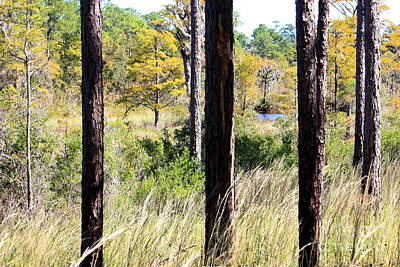 Photograph - Through Mississippi Pines by Carol Groenen