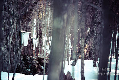 Sugaring Season Photograph - Through The Maples by Cheryl Baxter