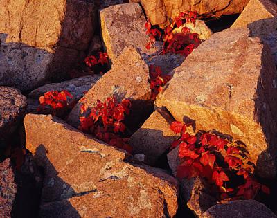Photograph - Thunder Hole Ivy by Tom Daniel