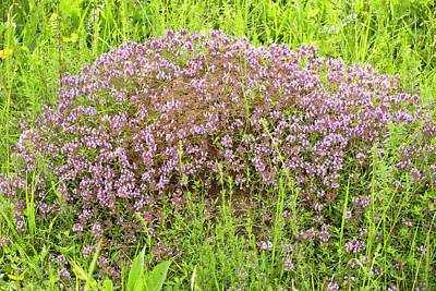 Thyme (thymus Glabrescens) On Anthill Print by Bob Gibbons