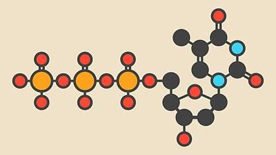 Triphosphate Photograph - Thymidine Triphosphate Molecule by Molekuul