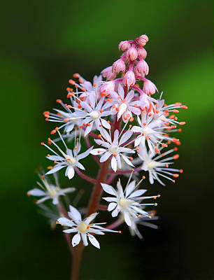 Photograph - Tiarella Flower by Carolyn Derstine