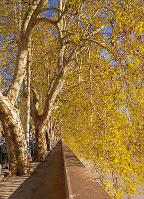 Photograph - Tiber's Sycamores by Brian Grzelewski
