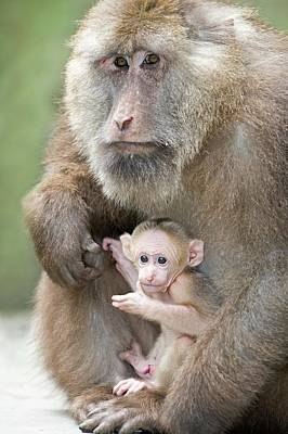 Peoples Republic Of China Photograph - Tibetan Macaque Male Holding An Infant by Tony Camacho
