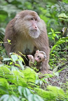 Omnivore Photograph - Tibetan Macaque Mother With Infant by Tony Camacho