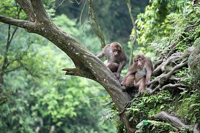 Peoples Republic Of China Photograph - Tibetan Macaques In A Tree At Mount Emei by Tony Camacho