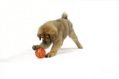 Mastiff Puppy Photograph - Tibetan Mastiff With Ball by John Daniels